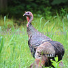 Wild Turkey. The Wild Turkey was a very important food animal to Native Americans, but it was eliminated from much of its range by the early 1900s. Introduction programs have successfully established it in most of its original range, and even into areas where it never occurred before. The male Wild Turkey provides no parental care. When the eggs hatch, the chicks follow the female. She feeds them for a few days, but they quickly learn to feed themselves. Several hens and their broods may join up into bands of more than 30 birds. Winter groups have been seen to exceed 200.<br /> DID YOU KNOW: Ben Franklin wanted the turkey to be the national bird!