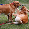 """""""Scary"""" Goldens"""