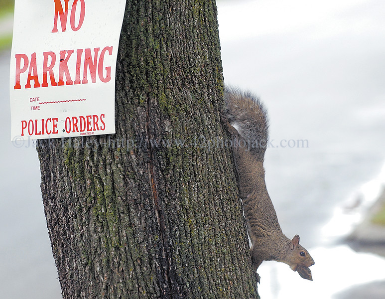 jhnoparking - Obvisouly this squirrel can't read the sign posted around the village of Palmyra about no parking for the Canal Town Days.