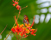 2016_11__D704629_Fritillary on Poinciana