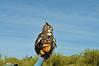 Desert Horned Owl