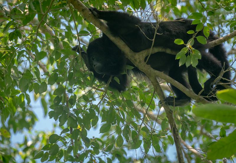 Howler Monkey in Jungle