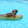 Penny, a mini wirehair dachshund, is catching a wave.
