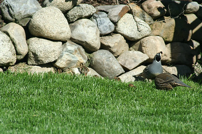 Can you spot the 5 baby Quail McNuggets?