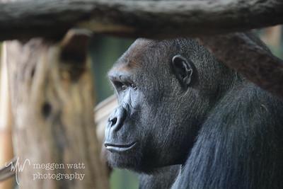 Gorilla, Lincoln Park Zoo