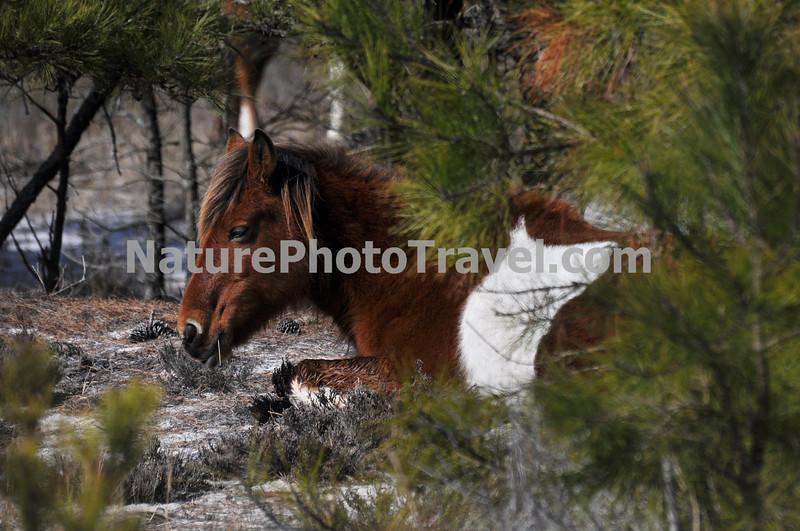 Chincoteague Pony - Mare