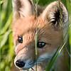 Fox Portait