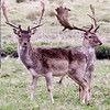 Deer at Belton House, Lincs.