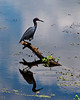 Blue Heron @ Brazos Bend