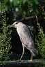 Houston Zoo Heron