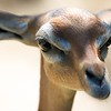 Gerenuk Scientific Name: Litocranius walleri