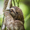 juvenile Three-toed Sloth