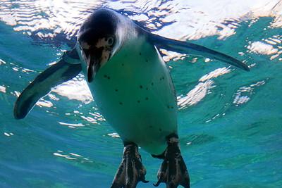 Peeking penguin