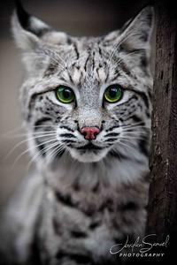Bobcat2