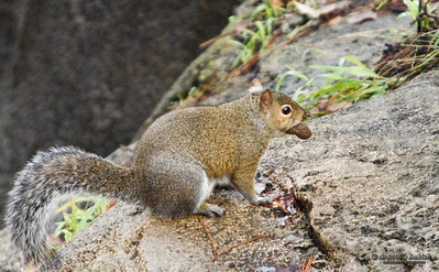 Squirrel with a peanut.  Squirrels belong to a large family of small or medium-sized rodents called the Sciuridae.