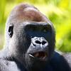 Western Lowland Gorilla<br /> Scientific Name:  Gorilla gorilla gorilla