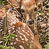 Bambi in Woods