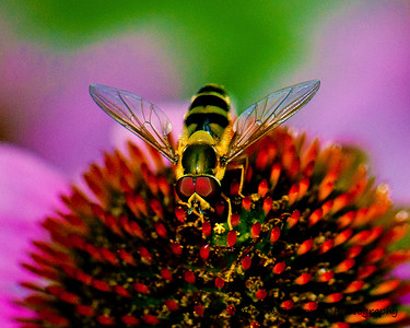 Syrphid fly on cone flower