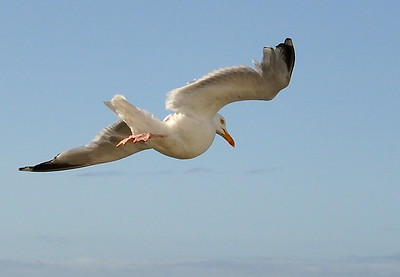 Seagull gliding on thermals