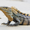 Black Ctenosaur (Spiny-tailed Iguana)