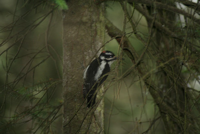 "The name of this type of woodpecker is called ""Hairy Woodpecker"""