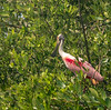 Roseate Spoonbill in Rookery