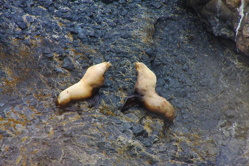 Male Seals