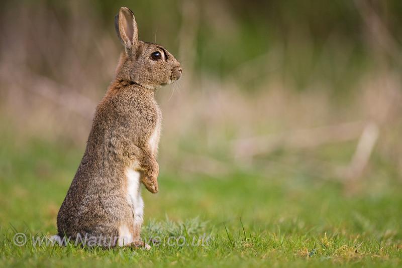 European Rabbit Watching