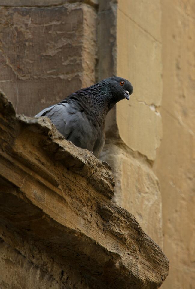 Pigeon in Firenze