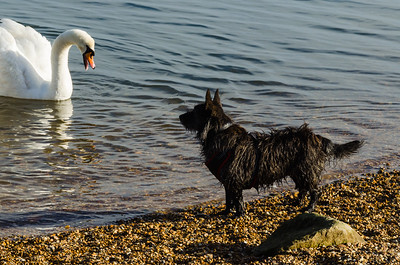 Dog Looking At A Swan
