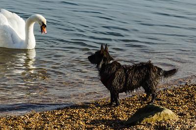 Dog Looking At A Swan