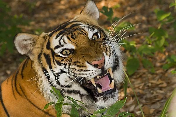 Pookie, Siberian Tiger, Pug Mark Park