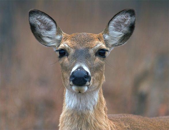 Whitetail Deer, Wichita Mountain Wildlife Refuge