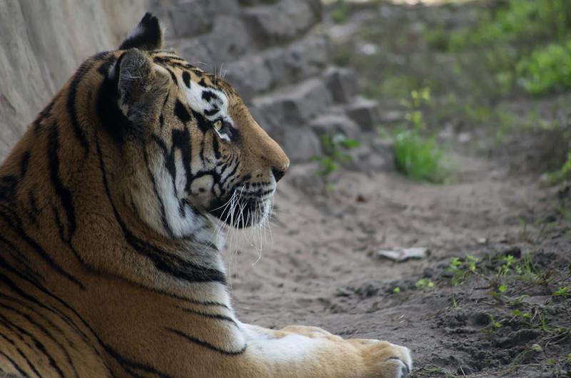 Tiger -Animal Kingdom, Orlando, FL
