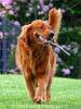 February 5th, This is Connor again. he is our youngest Golden. At 125lbs he is a big bundle of fun and energy. Fetching is his 2nd favorite past time second only to getting wet which I featured in last month's dailies.