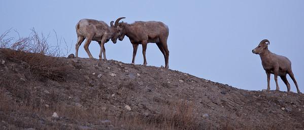 Mountain Sheep, Canmore , Alberta, 09