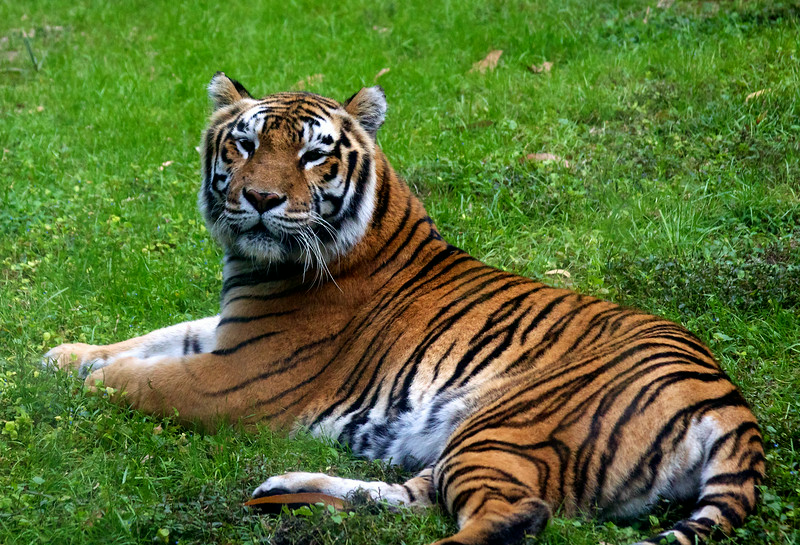 Tiger relaxing at Disney's Animal Kingdom