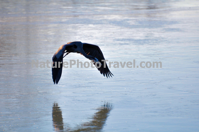 Great Blue Heron (flying over ice) The largest and most widespread heron in North America, the Great Blue Heron can be found along the ocean shore, bays, lakes, streams or the edge of ponds. Although the Great Blue Heron eats primarily fish, it is adaptable and willing to eat other animals as well. Several studies have found that voles (mice) were a very important part of the diet, making up nearly half of what was fed to nestlings in Idaho. Occasionally a heron will choke to death trying to eat a fish that is too large to swallow. Great Blue Herons congregate at fish hatcheries, creating potential problems for the fish farmers. A study found that herons ate mostly diseased fish that would have died shortly anyway.