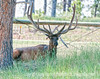 Elk buck; best viewed in the largest sizes