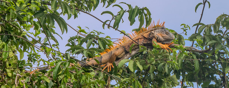 Male Iguana in Mating Colors
