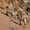 Twin Mountain Sheep Kids