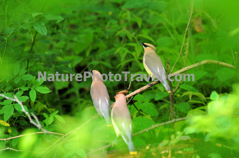 Cedar Waxwings - Typical Flock. <br /> Size & Shape<br /> The Cedar Waxwing is a medium-sized, sleek bird. Waxwings have a crest that often lies flat and droops over the back of the head. <br /> <br /> Color Pattern<br /> Cedar Waxwings are pale brown on the head and chest fading to soft gray on the wings. The belly is pale yellow, and the tail is gray with a bright yellow tip. The face has a narrow black mask neatly outlined in white. Wings have red waxy tip feathers. <br /> <br /> Behavior<br /> Cedar Waxwings are social birds that you're likely to see in flocks year-round. They sit in fruiting trees swallowing berries whole, or pluck them in mid-air with a brief fluttering hover. They also hunt over water for insects.<br /> <br /> Habitat<br /> Look for Cedar Waxwings in woodlands of all kinds, and at farms, orchards, and suburban gardens where there are fruiting trees or shrubs.
