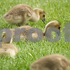 Dining Goslings