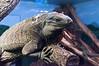 Houston Zoo Monitor Lizard
