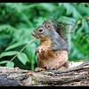 Douglas Squirrel Listens for Danger