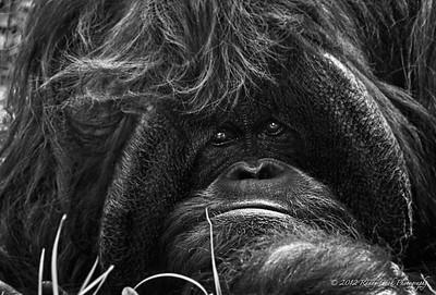 Relaxed Orangutan
