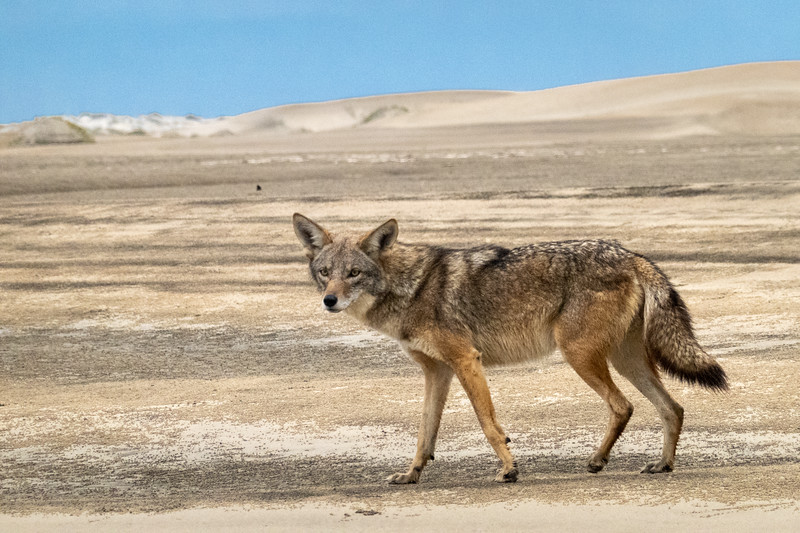 Coyote and Sand Dunes on Isla Magdalena