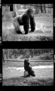 gorilla2BW