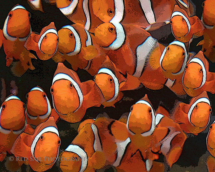 The Clowns.  Percula Clown fish in a group, they stay close when first introduced into a new environment. I took this image at Bio-Reef Aquariums, Jacksonville. Artistic filters applied.