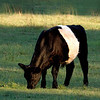 "Belted Galloway ""Beltie"" Cow. This is an old Scottish breed. More info on this unique animal can be found at  <a href=""http://www.beltie.org"">http://www.beltie.org</a>."